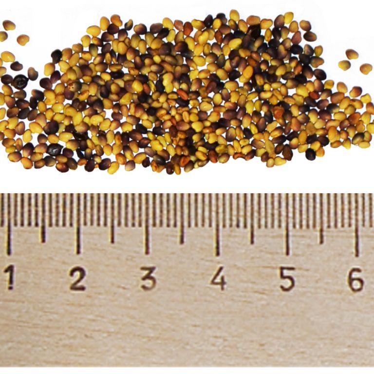 сколько стоит килограмм клевера семена
